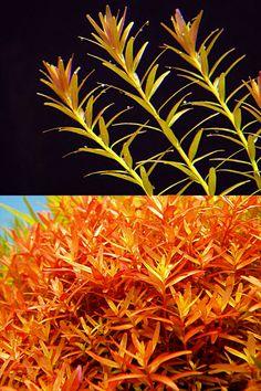 Endless list of favorite aquatic plants: 27/*→ Rotala Rotundifolia(photos © by flowgrow.de)