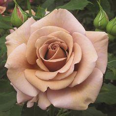 C'est la rose du Petit Prince. Il l'aime! Il savait que sa rose est unique cars il s'occupe la rose.