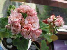 Denise (моя любимица) Rose, Flowers, Plants, Pink, Plant, Roses, Royal Icing Flowers, Flower, Florals