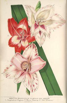 Varietes Nouvelle de Glayeuls des Jardins Chromolithograph by P Stroobant Published in 1867 by A Verschaffelt in Belgium. Plate No. Botanical Drawings, Botanical Illustration, Botanical Prints, Antique Prints, Vintage Prints, Vintage Art, Flower Prints, Flower Art, Art Flowers