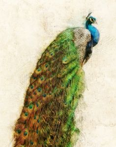 Peacock Spectacular I Fine Art Print by MMBPhotoGraphics on Etsy, $20.00