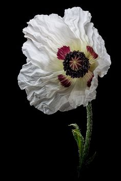 tinnacriss:White Poppy by There and back again on Flickr.