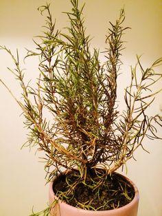 Rozmaryn lekarski: jego szerokie zastosowanie i niesamowity aromat. Herbalism, Hair Beauty, Herbs, Health, Plants, Gardening, Balcony, Herbal Medicine, Health Care