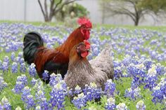 TEXAS~CHICKEN IN A FIELD OF BLUEBONNETS IN CENTRAL TEXAS.