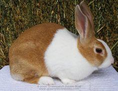 Golden Dutch Rabbit It's actually called Fawn not yet pass ...