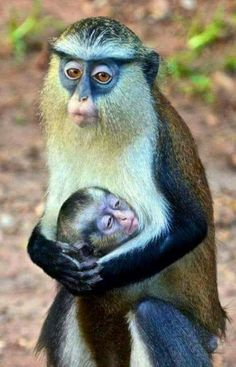 Ghana Wildlife Society- unknown named primate Primates, Mammals, Animals And Pets, Baby Animals, Funny Animals, Cute Animals, Beautiful Creatures, Animals Beautiful, Wildlife Society