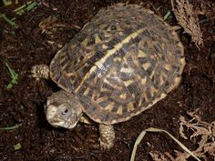 Ornate Box Turtle hatchling