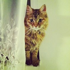 The Secret Thoughts Of 27 Maine Coon Cats http://www.mainecoonguide.com/kittens/