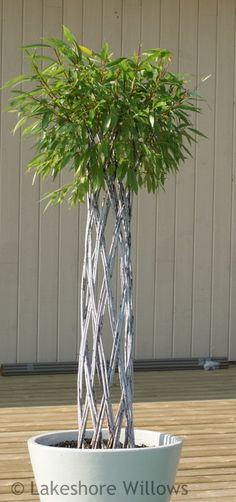 Living Willow Fence | Willows