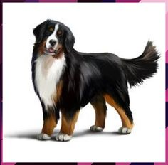 Bernese Mountain Dog White Background stock photos and royalty-free images, vectors and illustrations Bernese Mountain, Mountain Dogs, Mountain Photos, Pet Dogs, Dogs And Puppies, St Bernard Dogs, Cute Animal Photos, Labrador Retriever Dog, Bull Terrier Dog