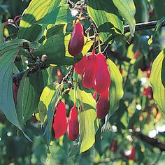The Cornelian-Cherry Tree (Cornus mas) is a unique, fruiting member of the dogwood family, and it is one of the earliest small trees to bloom in the spring.