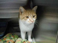 I'm coming home, I'm coming home, tell the world I'm coming home!! Yay! My name is Jasper, and I have a feeling today is the day that you're going to take me to my fur-ever home. That would make you my fur-ever family! I am a neutered male, orange tabby and white Domestic Shorthair and I am about 1 year old (ID#A079327)