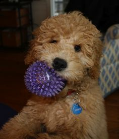 Cooper the Goldendoodle