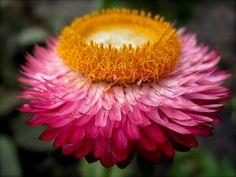 <3 Straw-Flower <3