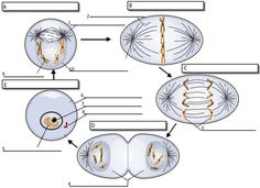 Activity. Label each phase of mitosis and the important parts of the cell that assist with mitosis.