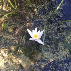 A Lilly in a small pond