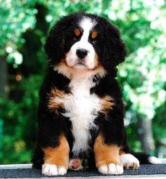 The cutest - #BerneseMountain #Dog http://www.bigbarker.com/ #BerneseMountainDog