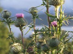Flor del Cardo, Panguipulli, Chile