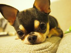 perfect little apple-head chihuahua #chihuahua