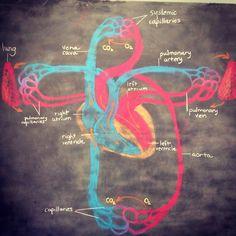Anatomy - The Heart and Circulatory System, Grade 7, Waldorf homeschool.