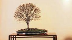 #olmo bonsái, estilo escoba, #47 #kokufu BONSAIKIDO, tu escuela de #bonsai en Madrid Paseo de la Castellana, 100, bajo izda Domingo abierto de 10 a 14 www.bonsaikido.com