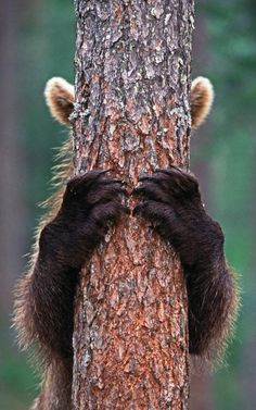 A bear plays peekaboo with photographer Jari Peltomaki in a forest in…
