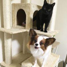 このベイビーちゃんたちかわいすぎる!!!!!!!!!!💕なんなのこのブランの満足げの顔とおはぎの美しい顔(´・Д・)」かわいすぎて辛い😭 #愛犬#パピヨン#パピヨン部#パピヨン大好き#パピヨン倶楽部#papillon#dog#わんこ#犬バカ部#dogstagram#instadog#いぬまとめ#inumatome#ルビー#ブラン#ruby#brun#愛猫#ねこ部#instacat#catstagram#meow#ペコねこ部#にゃんこ#cat#黒猫#クロネコ#おはぎ#mypet#love