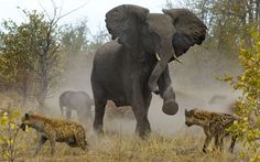 An elephant comes to the rescue of one of its babies who is being attacked by a pack of hyenas. The elephant is seen charging at the hyenas to ward them off its offspring. These amazing pictures were captured by American photographer Jayesh Mehta in the Savuti region of the Chobe National Park in Botswana.