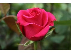 Hot Lady Rose - Hot Pink -Staalduinen Floral Wholesale