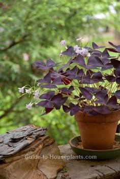 purple shamrock, oxalis regnellii This happy-go-lucky plant seems content to be anywhere. You can grow Purple Shamrock indoors year-round, or move it outside on a shady patio for the summer. Orchid Plant Care, Orchid Plants, Garden Plants, Indoor Plants, House Plants, Shade Garden, Indoor Outdoor, Shamrock Plant, Purple Shamrock