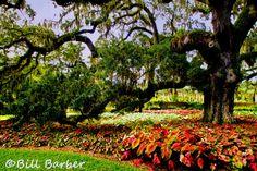 Live Oak - Bill Barber Photo