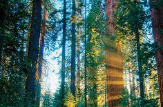 The world's biggest tree, General Sherman, in Sequoia National Park. | [Photo by Steven Milne/Alamy]