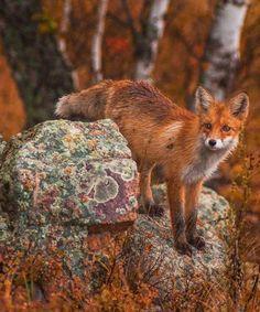 nouveau statue d un renard assis renardeau chasse . effet naturel
