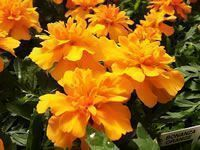Marigolds How To Grow & Care Cultivate etc Garden Helper Mari. Marigolds How To Grow & Care Cultivate etc Garden Helper Mari. Marigolds In Garden, Slugs In Garden, Hydrangea Garden, House Plant Care, House Plants, Design Thinking, Perenial Garden, Annual Flowers, Gardening Books