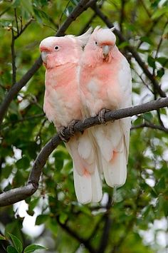 Major Mitchell's Cockatoo.  Royalty Free Images, Photos and Stock Photography :: Inmagine
