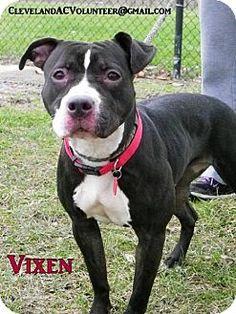 Cleveland, OH - Pit Bull Terrier Mix. Meet Vixen, a dog for adoption. http://www.adoptapet.com/pet/12174427-cleveland-ohio-pit-bull-terrier-mix