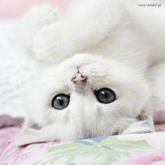 British cat