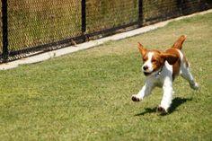 Welsh Springer Spaniel Puppy On The Run!