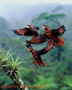 Dusky Lories in flight