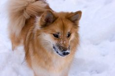 Icelandic Sheepdog_front.ashx 425×282 pikseli