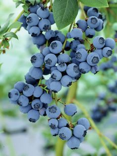 Five steps to growing blueberries.....includes early pruning. I#39;m glad I read this!