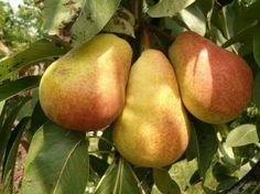 Pear's fruit :)