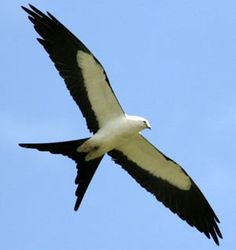 Swallow Tail Kite - saw this beautiful bird in flight! Awesome!