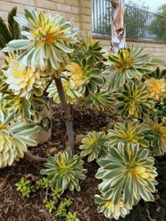 grow succulents: Grow Aeonium Arboreum in Your Succulent Garden