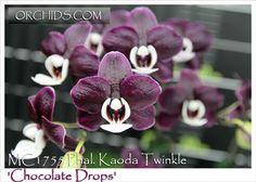 Phal. Kaoda Twinkle 'Chocolate Drops'  (P. schilleriana x P. Malvarosa Valentine Pearl)