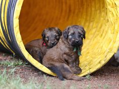 Briard puppies in agility tunnel