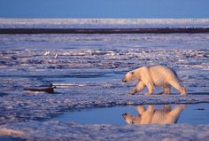 CAN'T WE RELOCATE THEM TO NORTHERN RUSSIA Without action on climate change, say goodbye to polar bears