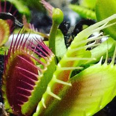 Flower stalk shooting up.. Gotta get cut soon. #venusflytrap #flytrap #flower #traps #trigger #green #grow #dionea #teeth #carnivorous #carnivorousplant #carnivorousplants #carnivoroustagram #plant #plants #planet #plantnerd #plantpeeps #roots #peat #nature #amazing #awesome #instagood #iphone #socool by kgrizzlefoshizzle