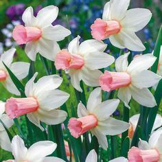 """'Cotinga' daffodil has white petals with a pink throat...less than 12"""" high."""