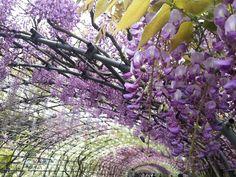 GWの河内藤園@北九州。紫色だけじゃなく薄いピンク、白など何種類もの色が重なって華やかな彩りが絶景でした(^-^)